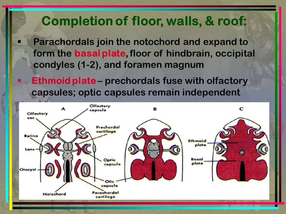 Completion of floor, walls, & roof:  Parachordals join the notochord and expand to form the basal plate, floor of hindbrain, occipital condyles (1-2), and foramen magnum  Ethmoid plate – prechordals fuse with olfactory capsules; optic capsules remain independent