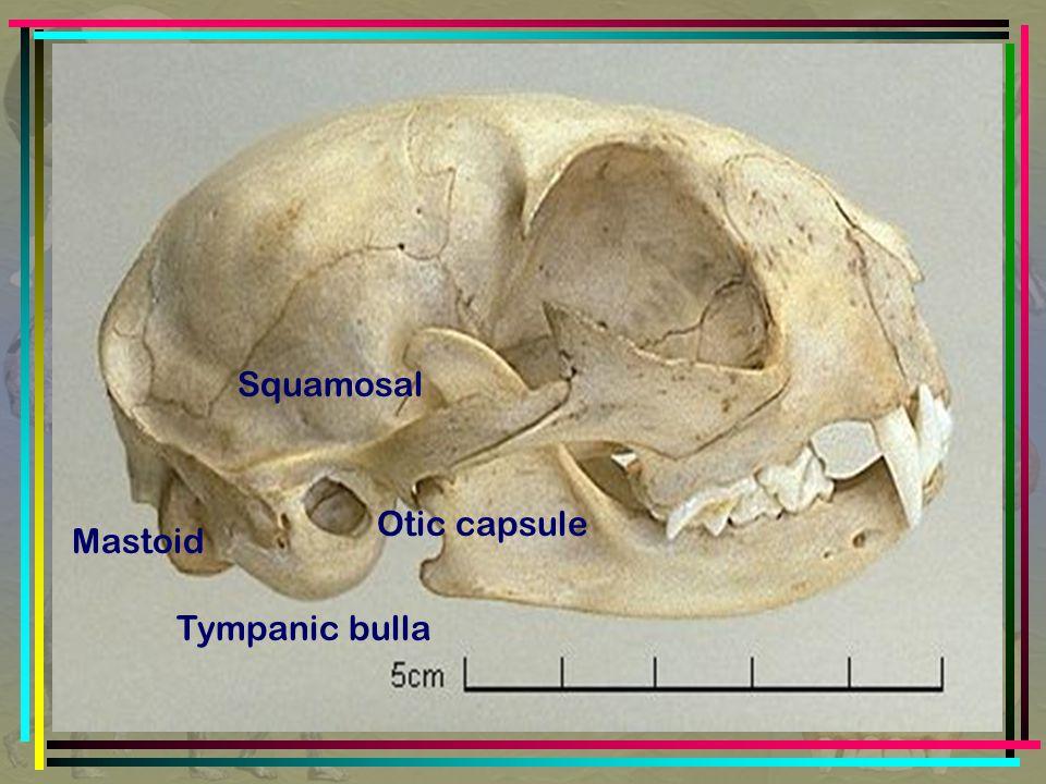 Tympanic bulla Squamosal Mastoid Otic capsule