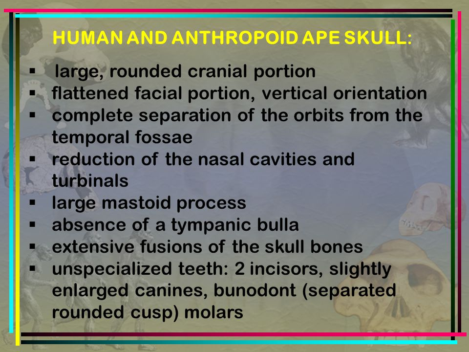 HUMAN AND ANTHROPOID APE SKULL:  large, rounded cranial portion  flattened facial portion, vertical orientation  complete separation of the orbits from the temporal fossae  reduction of the nasal cavities and turbinals  large mastoid process  absence of a tympanic bulla  extensive fusions of the skull bones  unspecialized teeth: 2 incisors, slightly enlarged canines, bunodont (separated rounded cusp) molars