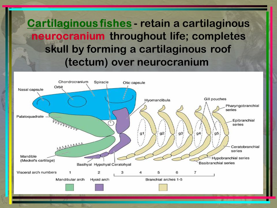 Cartilaginous fishes - retain a cartilaginous neurocranium throughout life; completes skull by forming a cartilaginous roof (tectum) over neurocranium