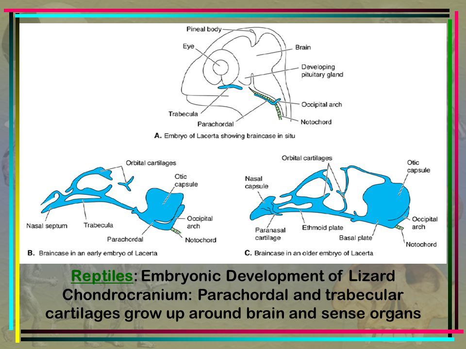 Reptiles: Embryonic Development of Lizard Chondrocranium: Parachordal and trabecular cartilages grow up around brain and sense organs
