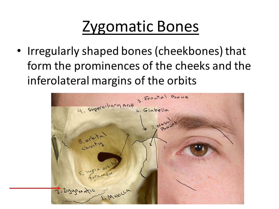 Maxillary Bones Medially fused bones that make up the upper jaw and the central portion of the facial skeleton (largest facial bones) Figure 7.8b