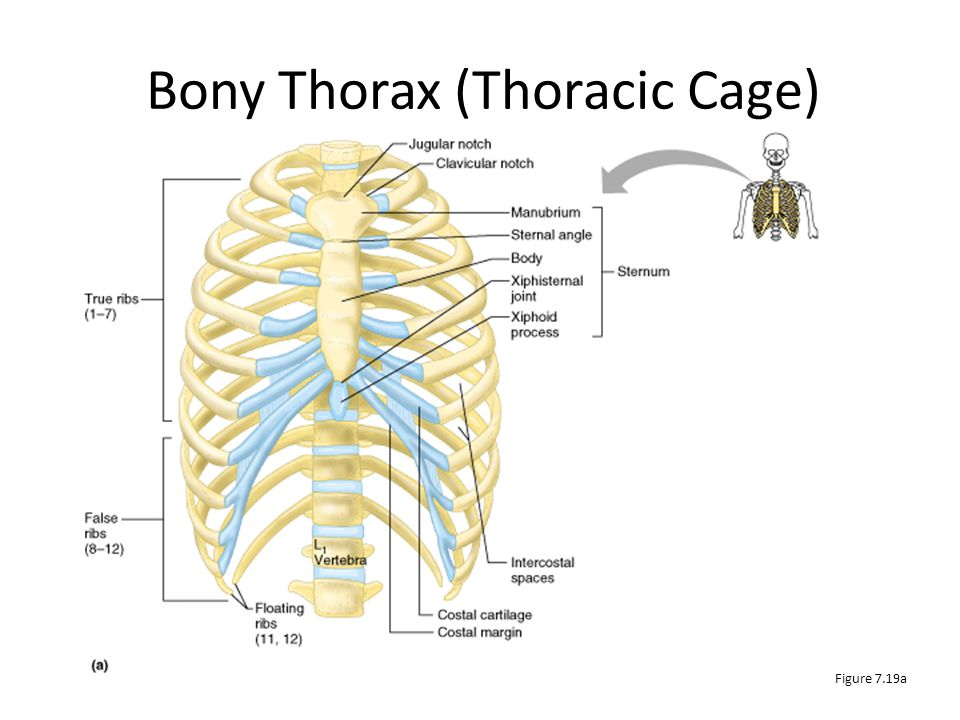 Bony Thorax (Thoracic Cage) The thoracic cage is composed of the thoracic vertebrae, the ribs, and the sternum Functions – Forms a protective cage aro
