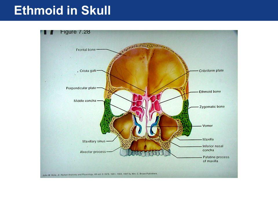 Ethmoid in Skull