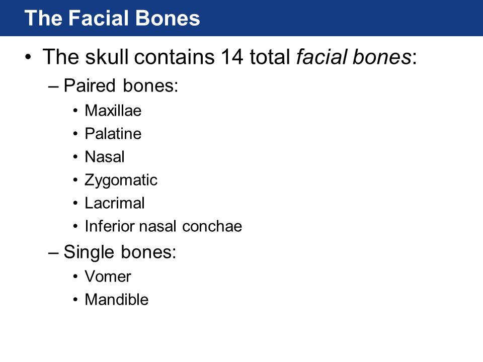 The Facial Bones The skull contains 14 total facial bones: –Paired bones: Maxillae Palatine Nasal Zygomatic Lacrimal Inferior nasal conchae –Single bo
