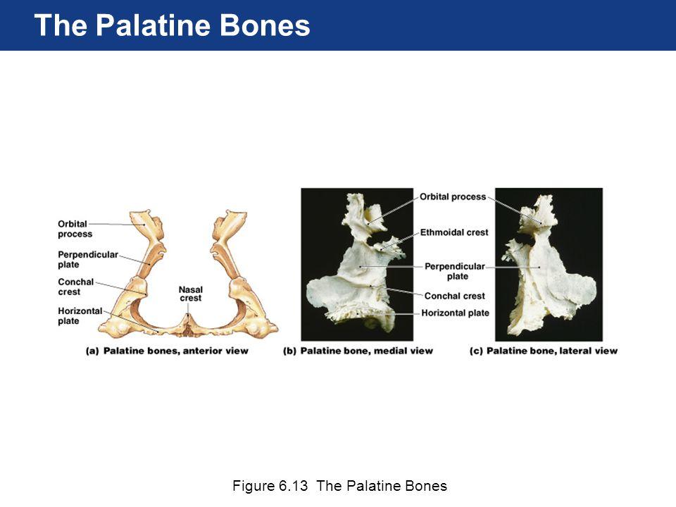 Figure 6.13 The Palatine Bones The Palatine Bones