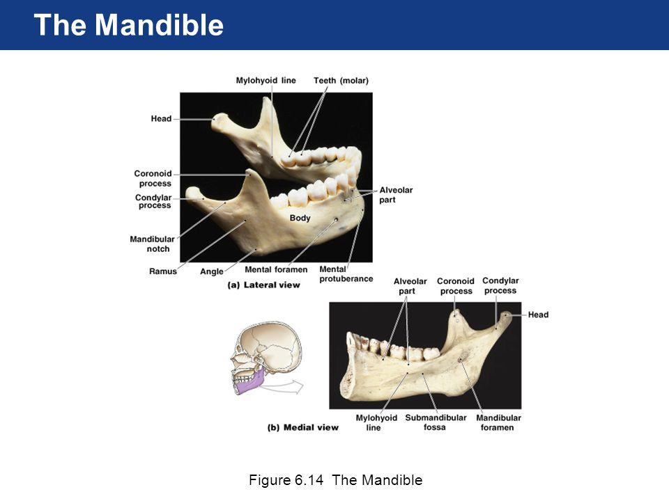 Figure 6.14 The Mandible The Mandible