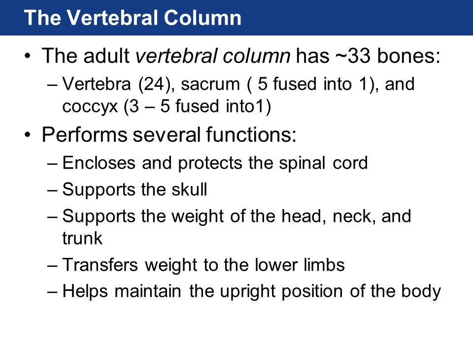 The Vertebral Column The adult vertebral column has ~33 bones: –Vertebra (24), sacrum ( 5 fused into 1), and coccyx (3 – 5 fused into1) Performs sever