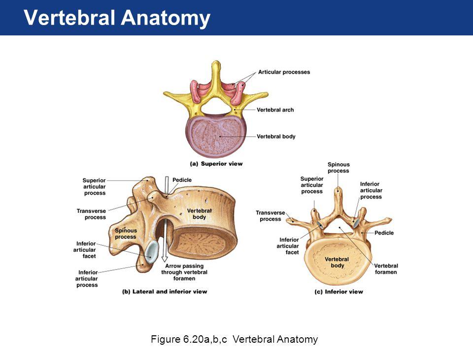 Figure 6.20a,b,c Vertebral Anatomy Vertebral Anatomy