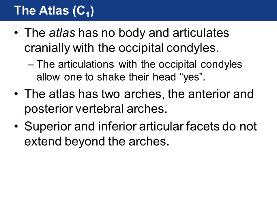 The Atlas (C 1 ) The atlas has no body and articulates cranially with the occipital condyles. –The articulations with the occipital condyles allow one