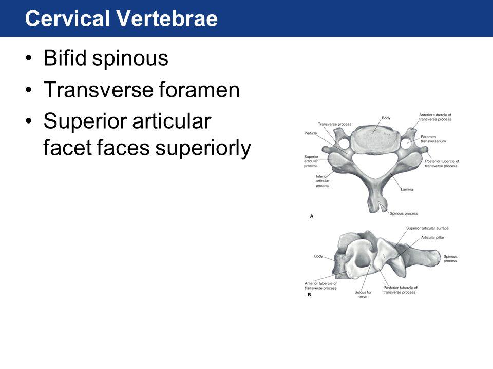 Cervical Vertebrae Bifid spinous Transverse foramen Superior articular facet faces superiorly