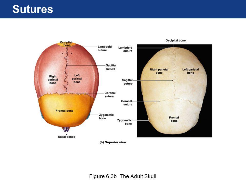 Figure 6.3b The Adult Skull Sutures