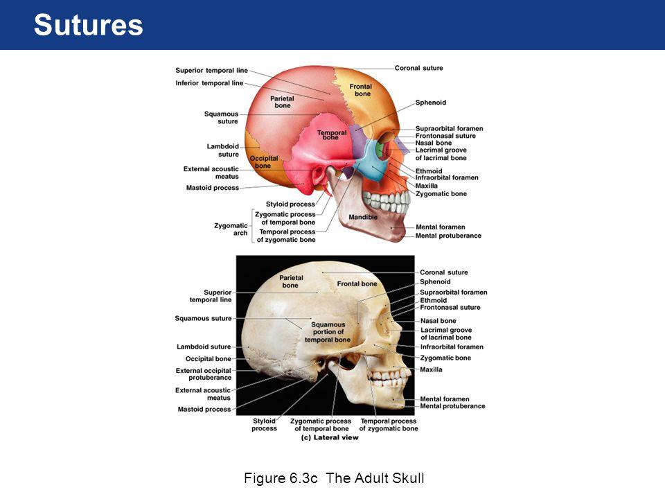 Figure 6.3c The Adult Skull Sutures