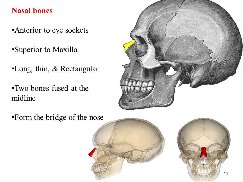 11 Nasal bones Anterior to eye sockets Superior to Maxilla Long, thin, & Rectangular Two bones fused at the midline Form the bridge of the nose