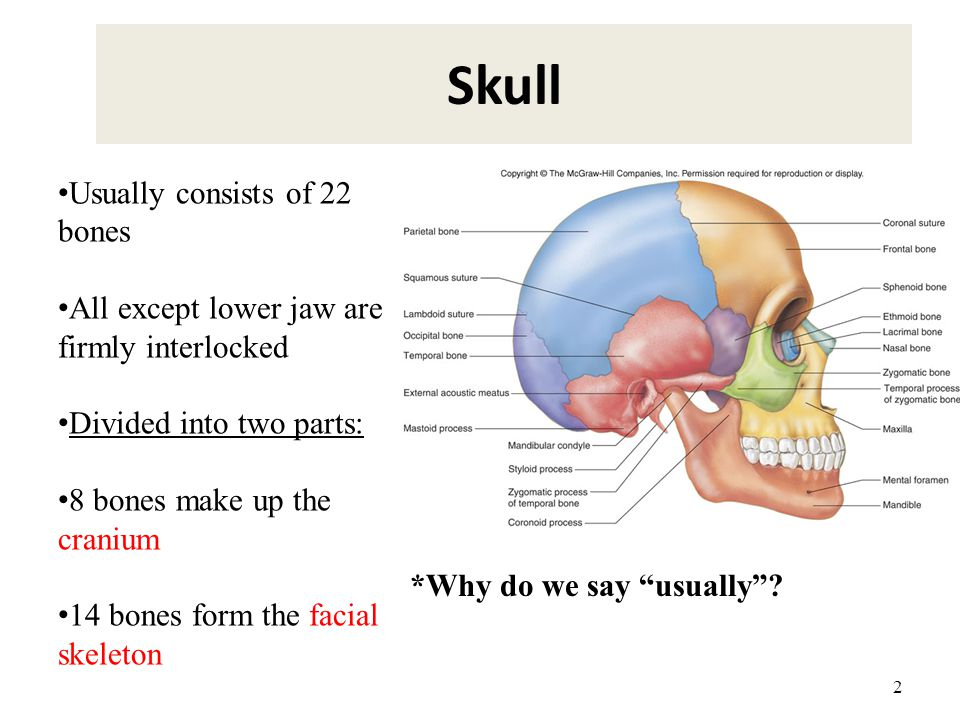 2 Skull Usually consists of 22 bones All except lower jaw are firmly interlocked Divided into two parts: 8 bones make up the cranium 14 bones form the