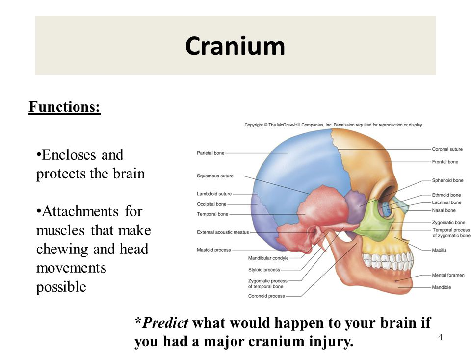 4 Cranium Encloses and protects the brain Attachments for muscles that make chewing and head movements possible Functions: *Predict what would happen