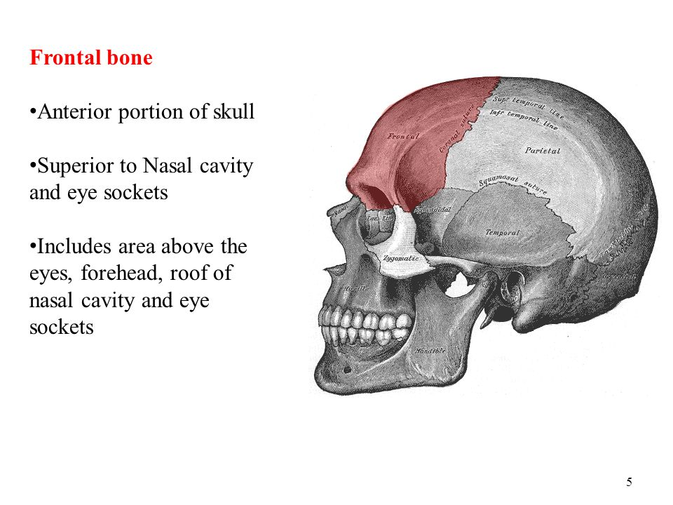 5 Frontal bone Anterior portion of skull Superior to Nasal cavity and eye sockets Includes area above the eyes, forehead, roof of nasal cavity and eye