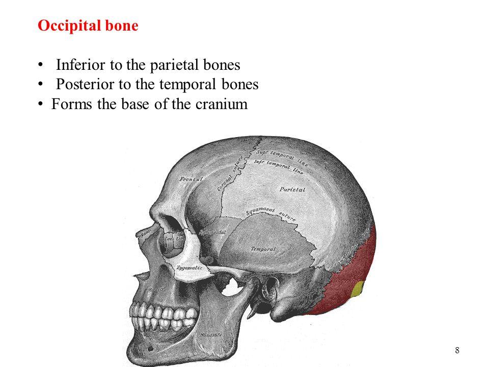 8 Occipital bone Inferior to the parietal bones Posterior to the temporal bones Forms the base of the cranium