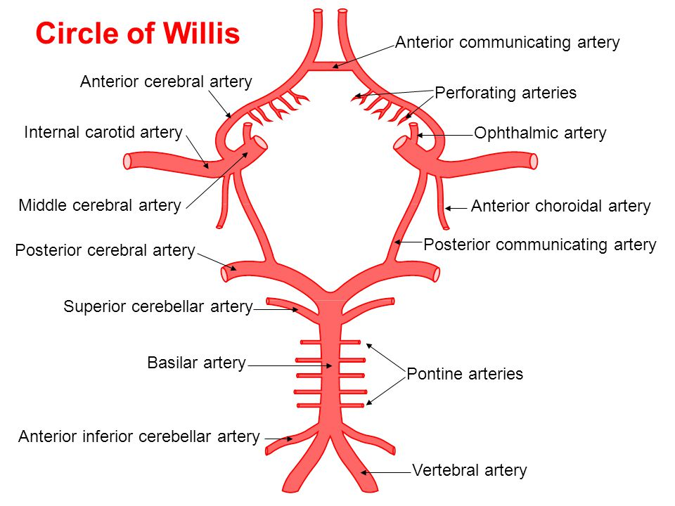 Anterior cerebral artery Anterior communicating artery Internal carotid artery Middle cerebral artery Posterior cerebral artery Vertebral artery Ponti