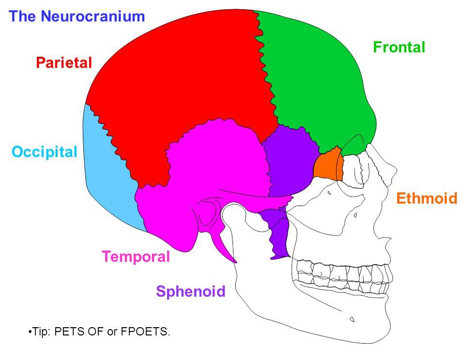 Temporal Occipital Parietal Ethmoid Sphenoid Frontal Tip: PETS OF or FPOETS. The Neurocranium