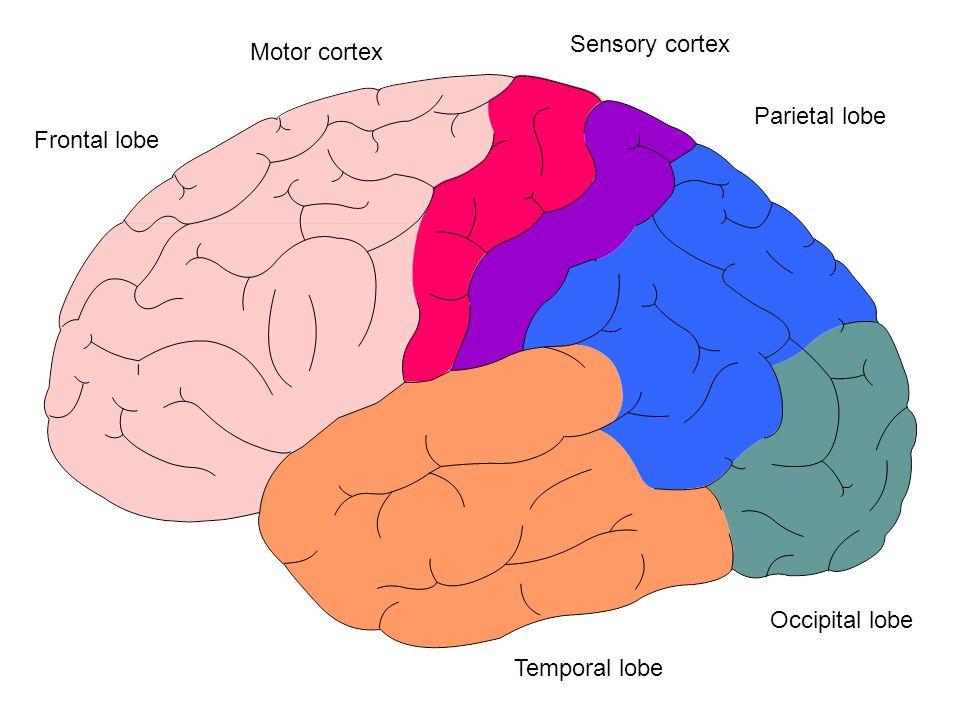 Parietal lobe Frontal lobe Occipital lobe Temporal lobe Motor cortex Sensory cortex
