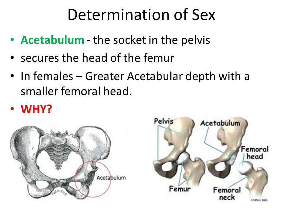 Determination of Sex Acetabulum - the socket in the pelvis secures the head of the femur In females – Greater Acetabular depth with a smaller femoral head.