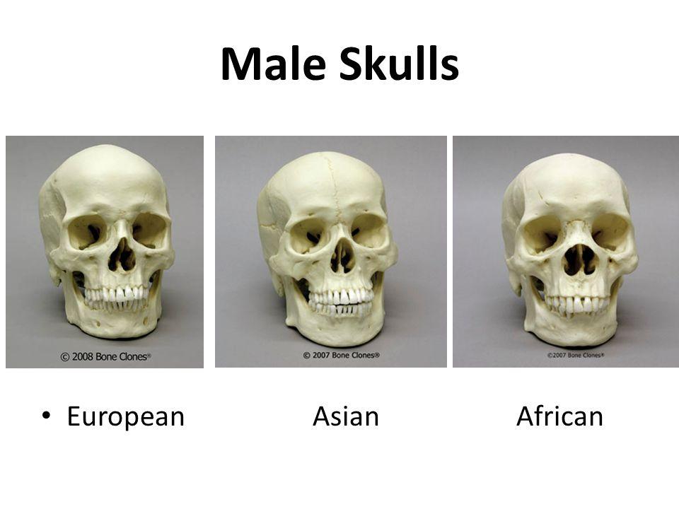 Male Skulls EuropeanAsianAfrican