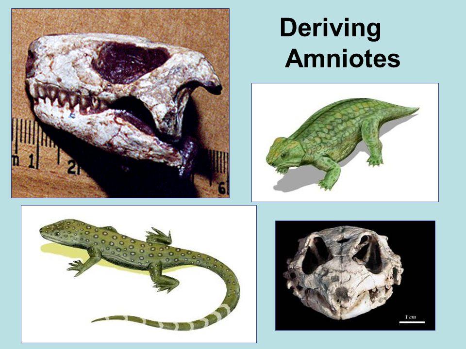 Deriving Amniotes