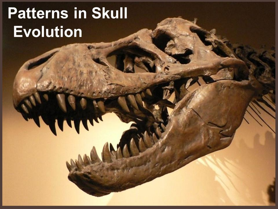 Patterns in Skull Evolution