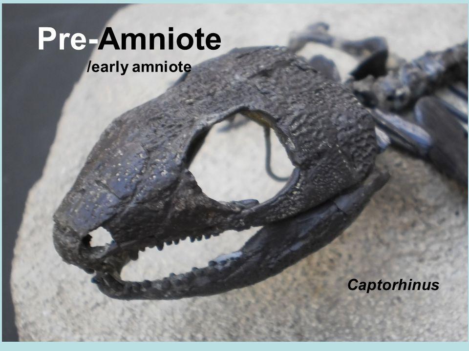 Pre-Amniote /early amniote Captorhinus