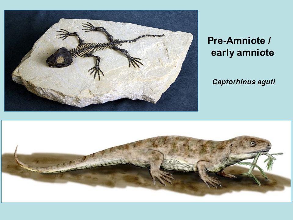 Captorhinus aguti Pre-Amniote / early amniote