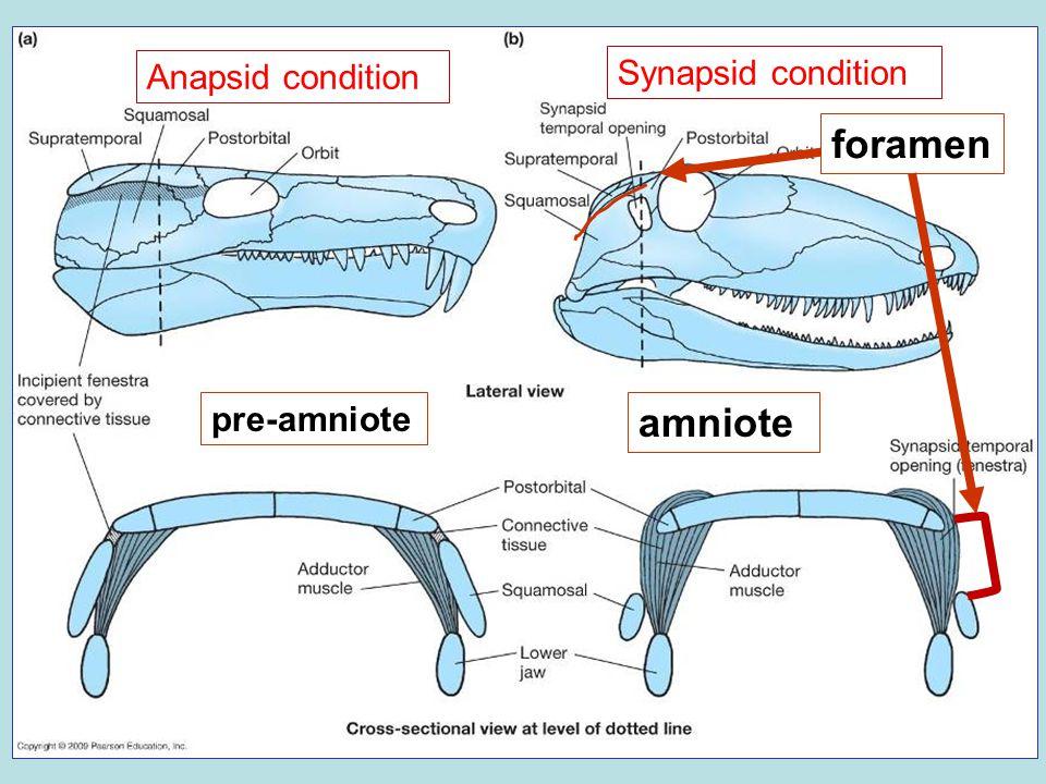 amniote foramen pre-amniote Anapsid condition Synapsid condition