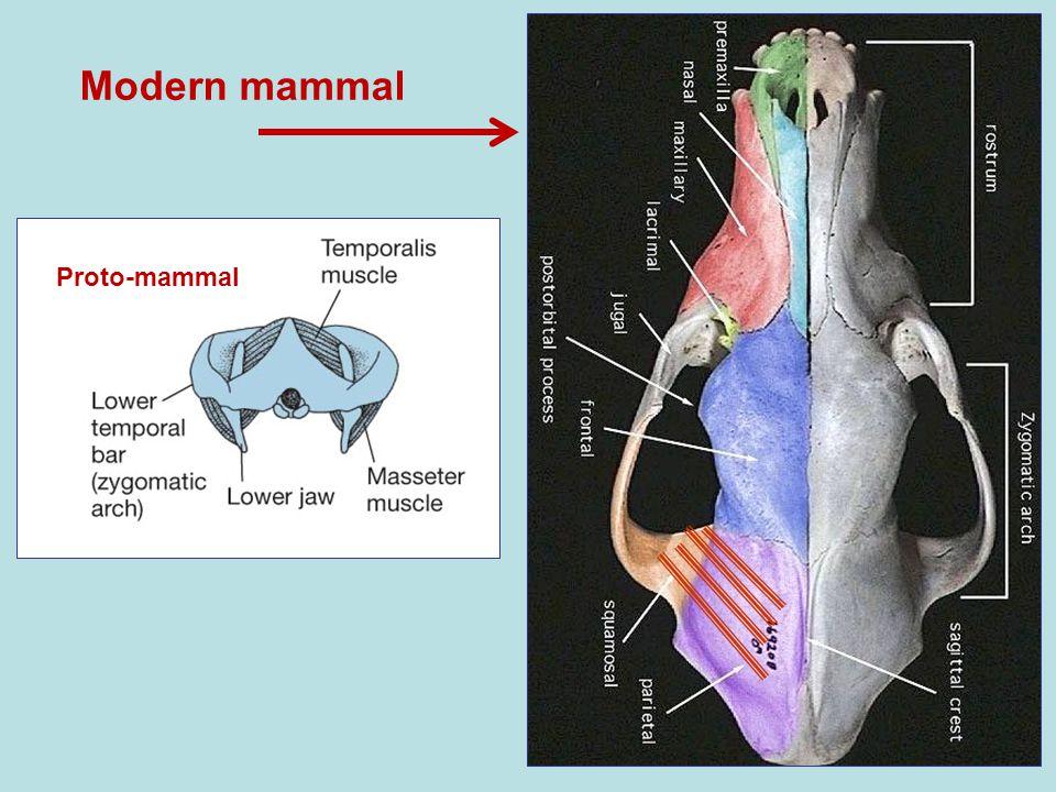 Proto-mammal Modern mammal