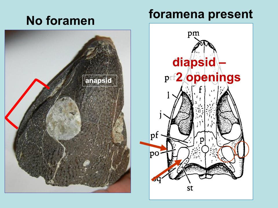 No foramen foramena present diapsid – 2 openings anapsid