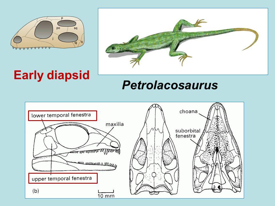 Early diapsid Petrolacosaurus