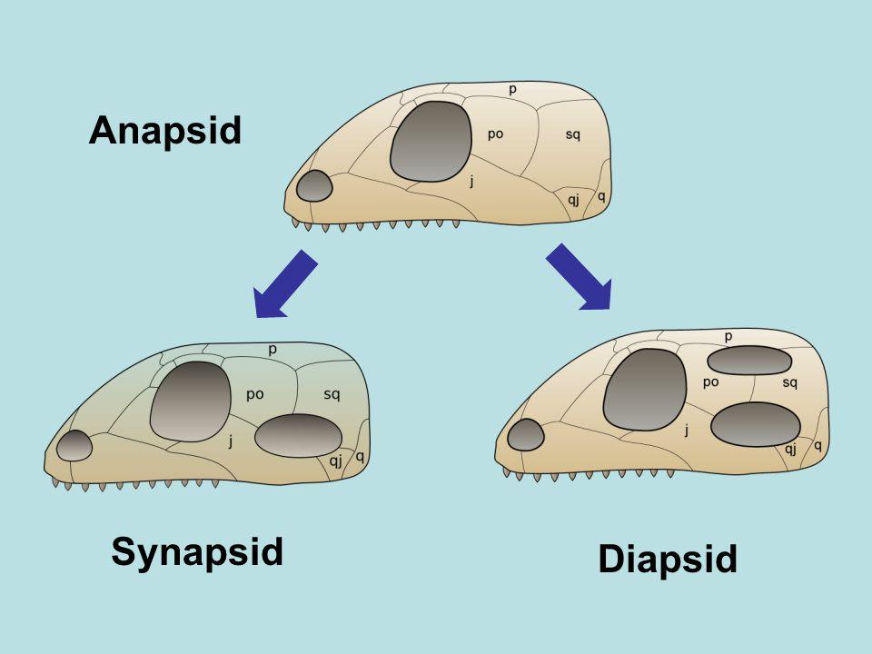 Anapsid Diapsid Synapsid