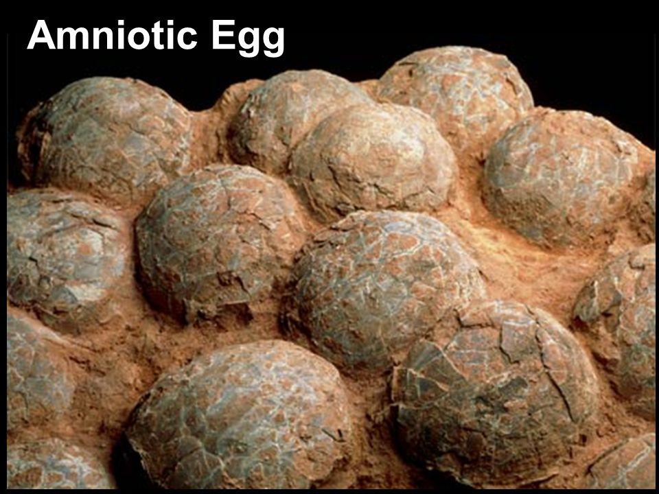 Amniotic Egg