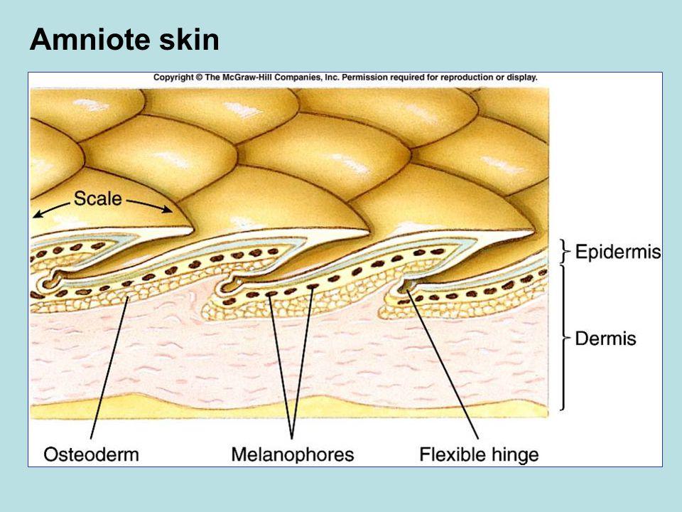 Amniote skin