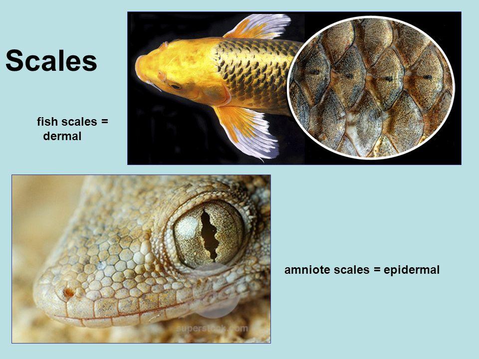 Scales fish scales = dermal amniote scales = epidermal
