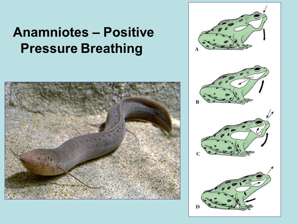 Anamniotes – Positive Pressure Breathing