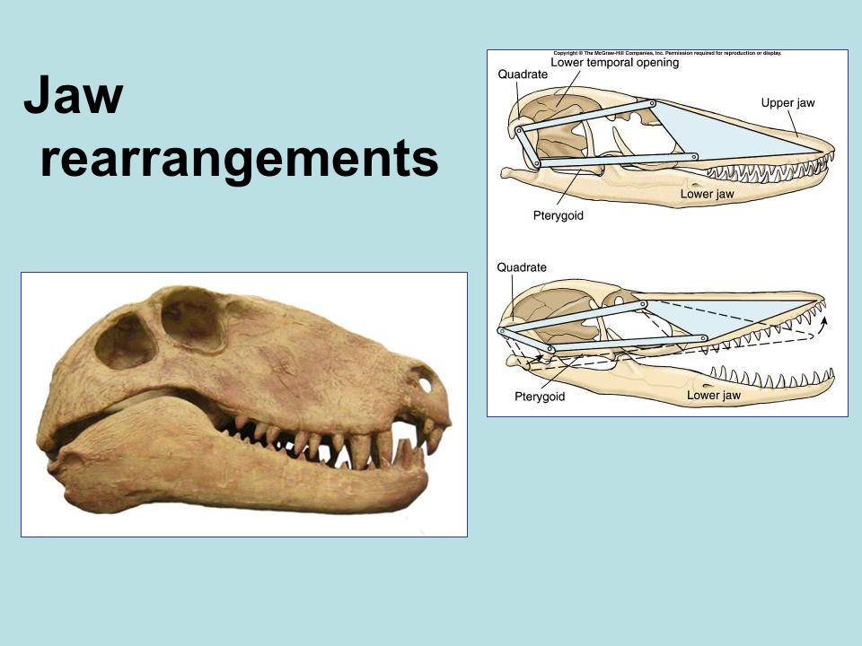 Jaw rearrangements