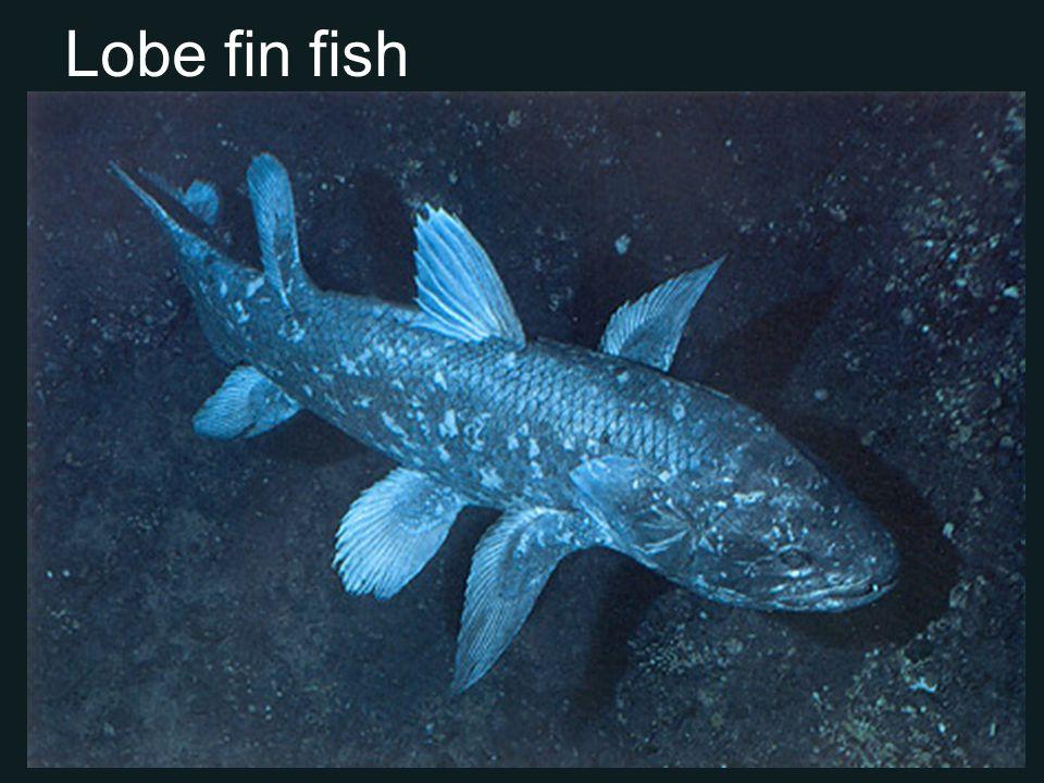 Lobe fin fish