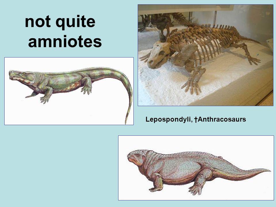 not quite amniotes Lepospondyli, †Anthracosaurs