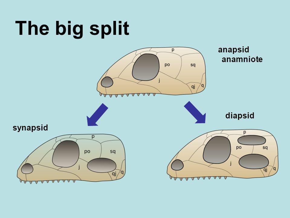 The big split anapsid anamniote synapsid diapsid
