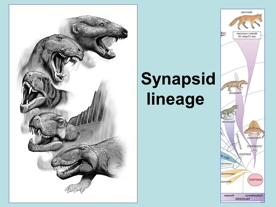 Synapsid lineage
