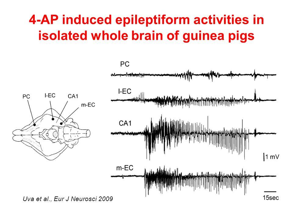 4-AP induced epileptiform activities in isolated whole brain of guinea pigs Uva et al., Eur J Neurosci 2009