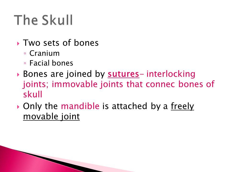 SutureBones they connect Sagittal2 parietal bones CoronalParietals meet frontal bone SquamousTemporal meets parietal LamboidOccipital meets parietal