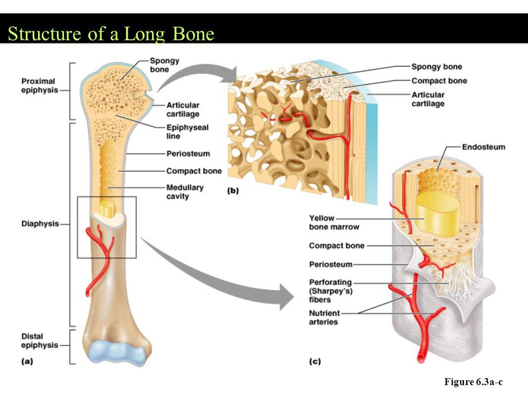Structure of a Long Bone Figure 6.3a-c