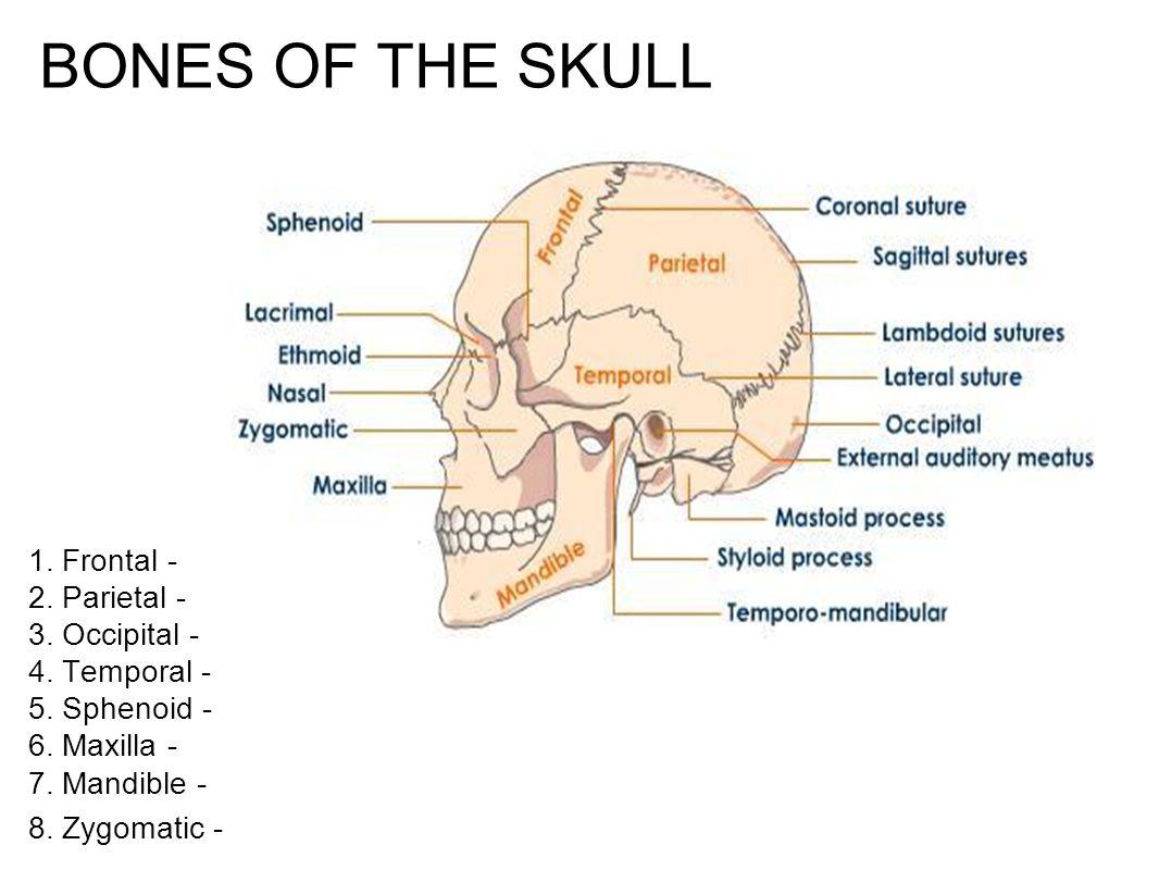 BONES OF THE SKULL 1. Frontal - 2. Parietal - 3. Occipital - 4. Temporal - 5. Sphenoid - 6. Maxilla - 7. Mandible - 8. Zygomatic -