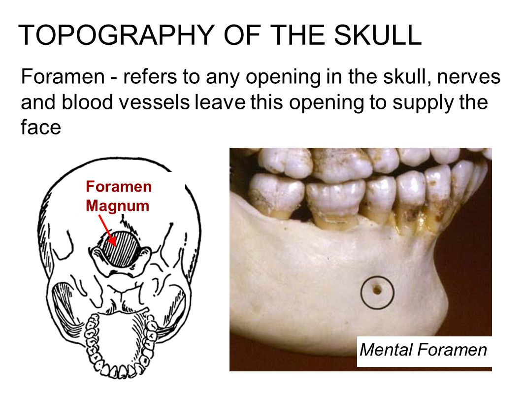 TOPOGRAPHY OF THE SKULL Foramen - refers to any opening in the skull, nerves and blood vessels leave this opening to supply the face Mental Foramen Foramen Magnum